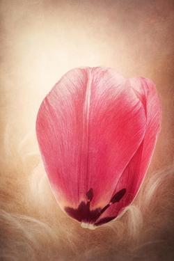 Tulip Petal by Philippe Sainte-Laudy