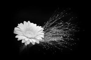 White Affection by Philippe Sainte-Laudy