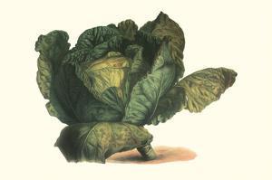 Cabbage Head by Philippe-Victoire Leveque de Vilmorin