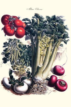 Vegetables; Turnip, Raddish, Tomato, Celery, and Peas by Philippe-Victoire Leveque de Vilmorin