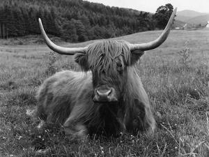 Highland Beast by Phillips