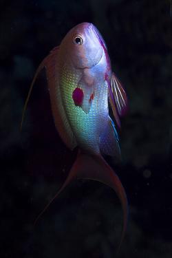 Anthias by photo acqua e luce di mauro mainardi
