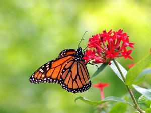 Monarch Butterfly on Flower by Photo by Cathy Scola