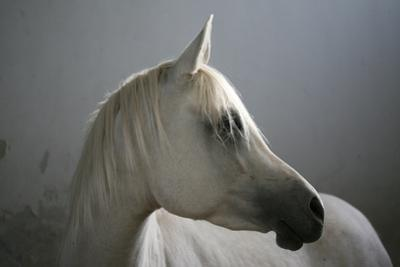 Arabian Horse by Photo by Eman Jamal