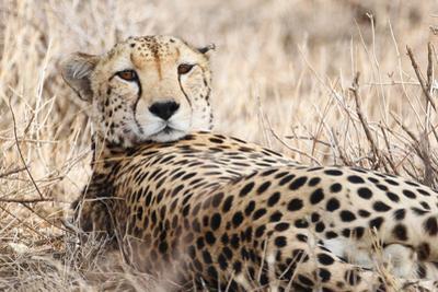 Cheetah by PHOTO BY PRASIT CHANSAREEKORN
