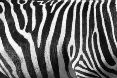 https://imgc.allpostersimages.com/img/posters/photo-of-a-zebra-texture-black-and-white_u-L-Q10384K0.jpg?p=0