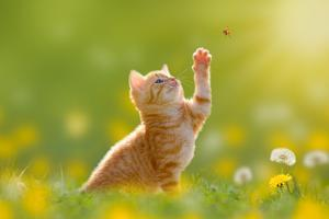 Young Cat / Kitten Hunting a Ladybug with Back Lit by Photo-SD