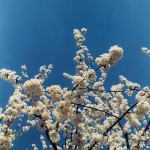 Photograph of some almond branches in bloom.