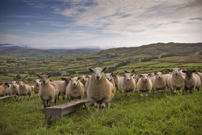 Lambs by Photograph taken by Alan Hopps