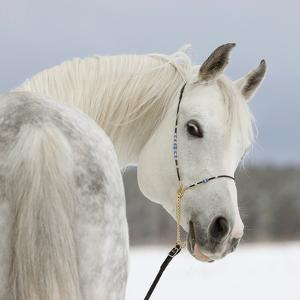 Arabian Stallion by Photographs by Maria itina