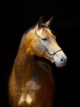 Golden Horse by Photographs by Maria itina