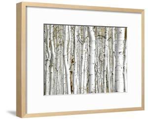 Birch Wood by PhotoINC