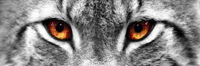 Lynx by PhotoINC