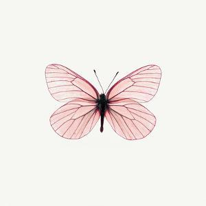 Pink Butterfly by PhotoINC