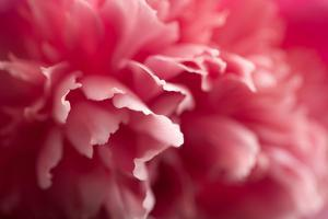 Pink Flower by PhotoINC