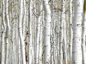 Birch Wood by PhotoINC Studio
