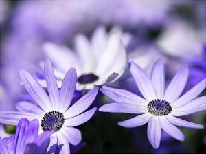 Purple Flowers by PhotoINC Studio