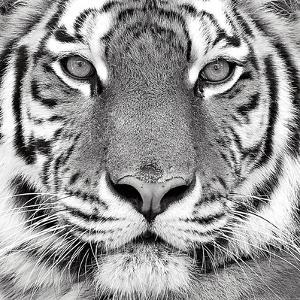 Tiger by PhotoINC Studio