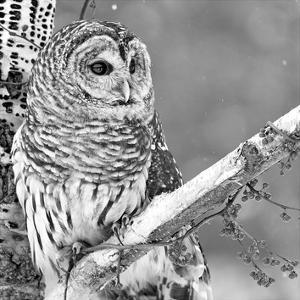 White Owl by PhotoINC Studio