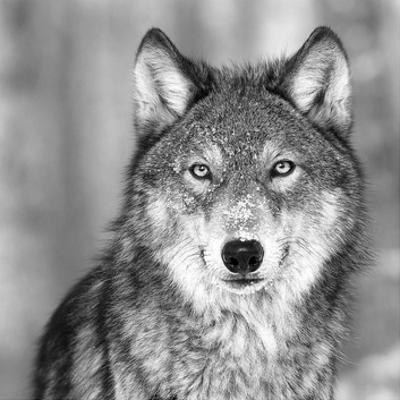 Wolf by PhotoINC Studio