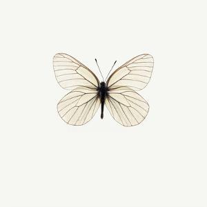 White Butterfly by PhotoINC
