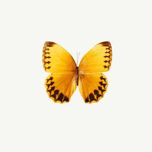 Yellow Butterfly by PhotoINC