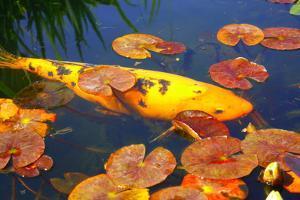 Koi Fish Lily Pond by photojohn830