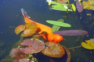 Koi Fish Pond by photojohn830