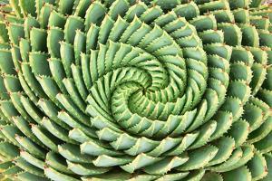 Pattern of Spiral Aloe (Aloe Polyphylla). by PhotoSky