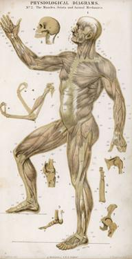 Physiological Diagram of the Muscles Joints and Animal Mechanics of the Human Body