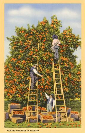 Picking Oranges in Florida