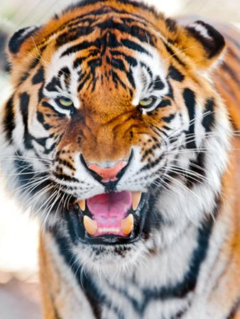 Close up of Tiger by Picture by Tambako the Jaguar