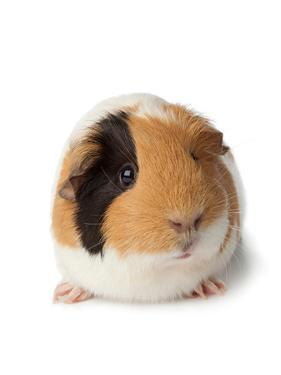 Cute Guinea Pig on White Background by Picture Partners