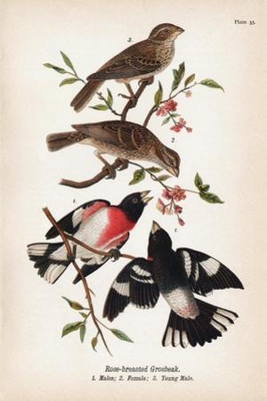 Vintage Birds: Rose-Breasted Gosbeak, Plate 35 by Piddix