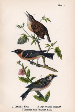 Vintage Birds: Wrens and Warblers, Plate 73 by Piddix