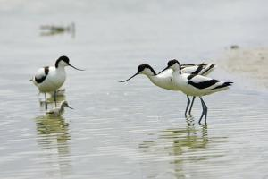 Pied Avocet 3 Adult Birds and 1 Chick