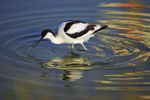 Pied Avocet Feeding in Shallow Water