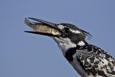 https://imgc.allpostersimages.com/img/posters/pied-kingfisher-ceryle-rudis-with-a-fish-kruger-national-park-south-africa-africa_u-L-PNFZ5D0.jpg?artPerspective=n