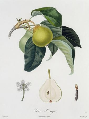 Poire D'Ange, Engraved by Bocourt, Published 1755 by Pierre-Antoine Poiteau