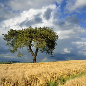 Lonely Tree a in Wheat Field by pierre hanquin photographie