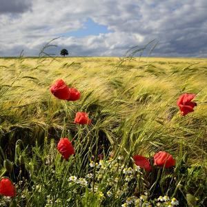 Poppies and Barley Field by pierre hanquin photographie