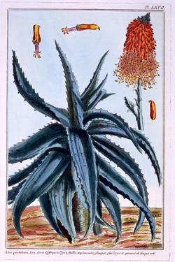 Aloe, Illustration from 'Collection Precieuse Et Enluminee Des Floura', by Pierre Joseph Buchoz,… by Pierre-Joseph Buchoz