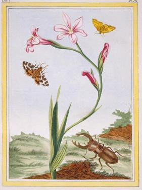 L'Ixia (Flesh-Coloured Ixia) and Stag Beetle, C.1776 by Pierre-Joseph Buchoz