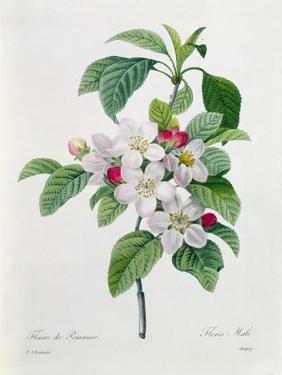 """Apple Blossom, from """"Les Choix Des Plus Belles Fleurs"""" by Pierre Joseph Redout?"""