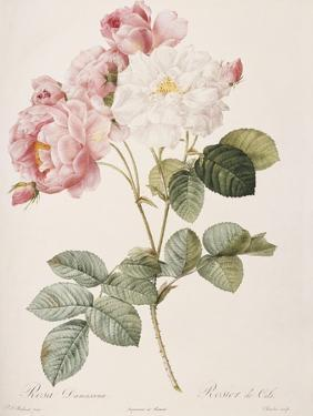 Damask Rose (Rosa Damascena). From 'Les Roses'. 1817-24 by Pierre Joseph Redout?