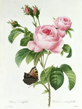 Rosa Centifolia by Pierre Joseph Redout?