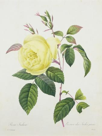 Rosa Indica, Engraved by Bessin, from 'Choix Des Plus Belles Fleurs', 1827