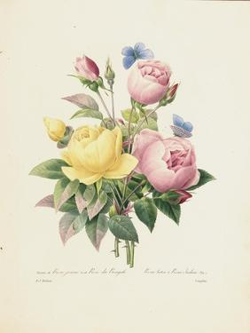 Variety of Yellow Roses and Bengal Roses by Pierre Joseph Redout?