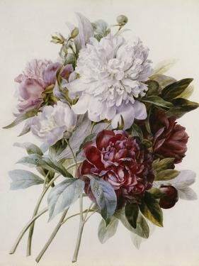 A Bouquet of Red, Pink and White Peonies by Pierre-Joseph Redouté