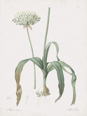 Allium Nigrum by Pierre Joseph Redoute